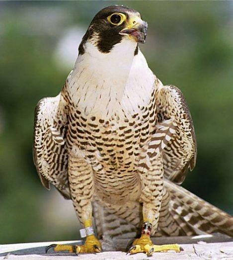 Peregrine Falcon: açıklama ve fotoğraf 93